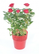Potted Rose Parade
