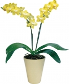 Sunny Yellow Orchid