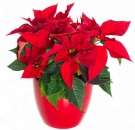 Christmas Star (Poinsettia)