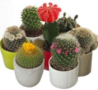 The Cactuses Collection
