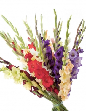 Multicolored Gladioluses