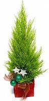 Live Fir-Tree image 0