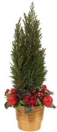 Live Fir-Tree image 1